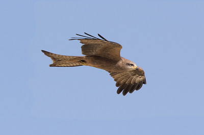 Black Kite (Milvus migrans) - Camooweal, Queensland