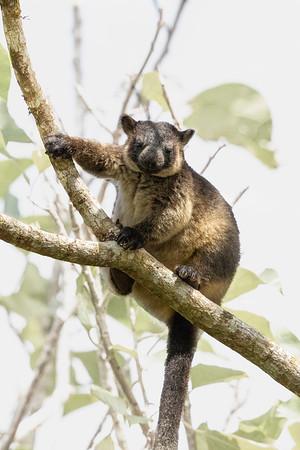 Lumholtz's Tree Kangaroo (Dendrolagus lumholtzi) - Malanda, Queensland