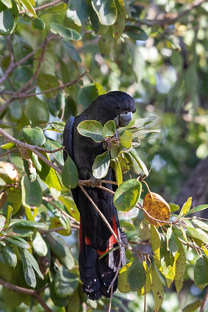 Red-tailed Black-Cockatoo (Calyptorhynchus banksii) - Laura, Queensland