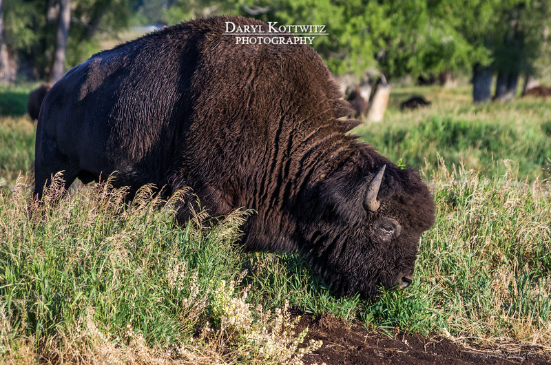 Stay out of the way of the big buffalo!