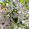 Tha apple blossoms were in full bloom on the trees at Sholan Farms on Tuesday, May 15, 2018. SENTINEL & ENTERPRISE/JOHN LOVE