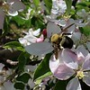 Tha apple blossoms were in full bloom on the trees at Sholan Farms on Tuesday, May 15, 2018. This bumble bee works hard collecting nectar from the flowers before the rain. SENTINEL & ENTERPRISE/JOHN LOVE