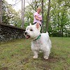 This West Highland Terrier named Harry Potter, 12,   took a walk with his owner Janice Kusmirek in Carter Park in Leominster on Tuesday, May 15, 2018.  Kusmirek said that this Harry's favorite place to take a walk. SENTINEL & ENTERPRISE/JOHN LOVE