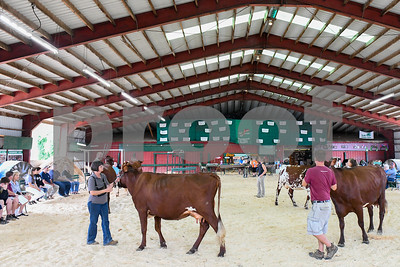 Competitors bring their dairy cattle into the showing arena Friday morning.  (Robert Layman / Staff Photo)