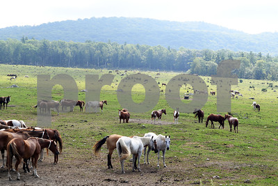 Horses graze in a large pasture at Pond Hill Ranch in Castleton. (Robert Layman / Staff Photo)
