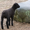 The newborn lamb at Brooksby Farm explores his surroundings.