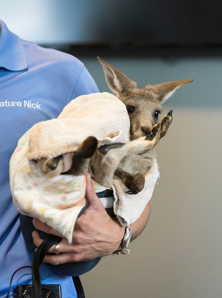 A baby kangaroo makes his appearance in front of a crowd of kids and parents at Saugus Public Library on Friday.