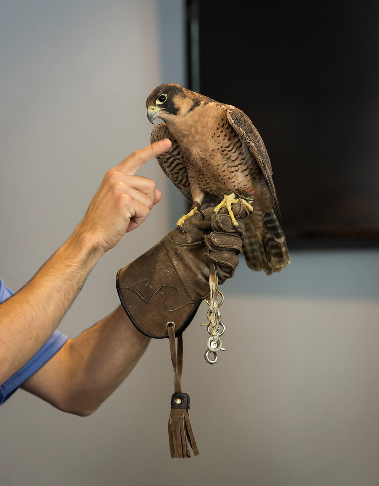 """Nick """"Nature Nick"""" Jacinto shows the kids gathered at Saugus Public Library a falcon during his show on Friday."""