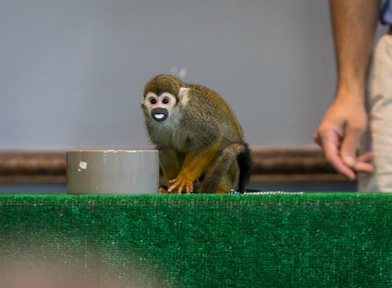 A squirrel monkey snacks on a marshmallow during Nature Nick's Animal Adventures show at Saugus Public Library on Friday.