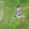 A red-tailed hawk flies across the 2nd green at Tedesco Country Club as it hunts for food. (Item photo by Spenser Hasak)