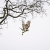 A red-tailed hawk leaves its perch in a tree on the 18th hole of Tedesco Country Club as it searches for food. (Item photo by Spenser Hasak)