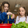 Vanessa Riley, 8, left, and Hayden Service, 8, pick through freshly harvested lemon balm that was picked from the garden at Summer Street School.