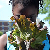 Lynn, Ma. 6-26-17. Mikhail Lucin smells the head of lettuce she just picked from the garden at the Lynn YMCA.The garden, installed by the Food Project, is in its third year, and in addition to planting and havesting, the kids will get a chance to learn how to cook the food later this summer.