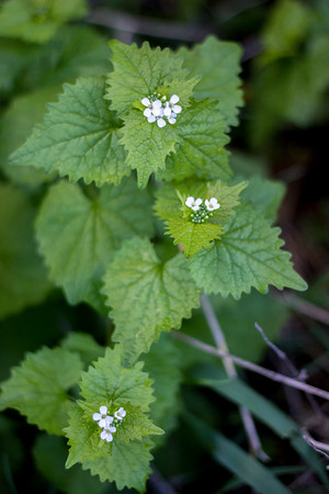 """RACHEL LEATHE/ THE COURIER<br /> <br /> A cluster of invasive Garlic Mustard flowers on Sue Richardson's property outside of Ottumwa on Thursday evening. The plant has been deemed a """"serious threat to Iowa's Woodlands"""" by the Iowa Department of Natural Resources due to its ability to spread rapidly and effectiveness at choking out native fauna. The Iowa DNR urges homeowners to remove the plant from their property all together if possible or to at least remove the flowering heads from the plants to prevent the spread of seeds."""