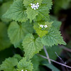 "RACHEL LEATHE/ THE COURIER<br /> <br /> A cluster of invasive Garlic Mustard flowers on Sue Richardson's property outside of Ottumwa on Thursday evening. The plant has been deemed a ""serious threat to Iowa's Woodlands"" by the Iowa Department of Natural Resources due to its ability to spread rapidly and effectiveness at choking out native fauna. The Iowa DNR urges homeowners to remove the plant from their property all together if possible or to at least remove the flowering heads from the plants to prevent the spread of seeds."