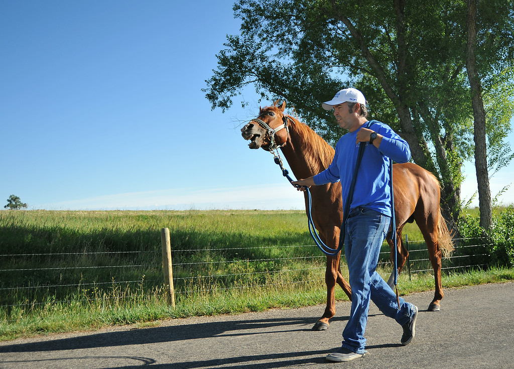 Equine breeder and trainer Sebastian Mariani leads Barejo, a stallion, to the artificial insemination building at the Jan Pamela Ranch near Big Horn. The Barejo is already excited as Mariani leads him–the stallion recognizes the halter that the breeder uses for bringing in stallions to collect their semen.