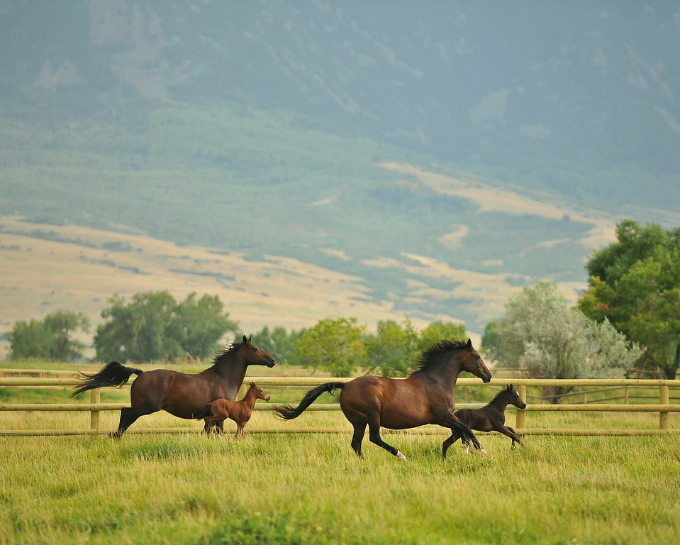 A pair of mares and their foal run in a pasture Thursday at the Jan Pamela Ranch.