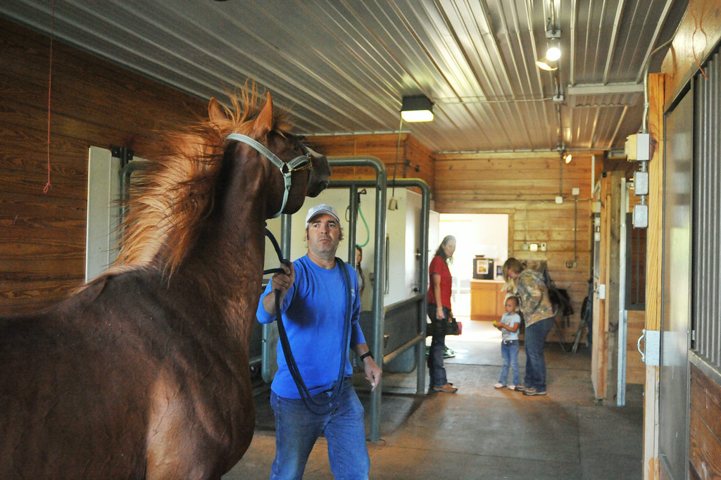 Barejo gets rowdy at the scent of the mare in heat as breeder Sebastian Mariani reins in the stallion in the artificial insemination building at the Jan Pamela Ranch near Big Horn. Once the stallion is ready Mariani leads him to the padded dummy where the aroused animal will exercise his affection.