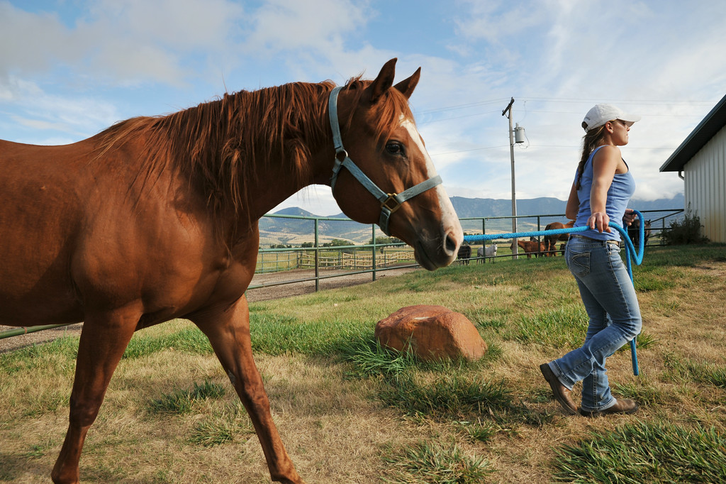 Joscelyn gray leads a recipient mare into the breeding barn at the Jan Pamela Ranch near Big Horn. The veterinarian checks the mares regularly for their uterus schedule. When the mares are ready, they will receive a fertilized embryo from a breed polo horse to carry for the pregnancy–meanwhile the polo playing horse will be free to play in polo competitions.