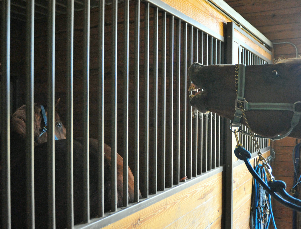 A mare in heat is kept behind a barred door to tease the stallion in the artificial insemination building at the Jan Pamela Ranch near Big Horn. The breeders do not allow the horses to mate–this eliminates the possibility of either animal from becoming injured during the process.