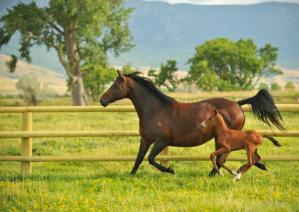 A mare and her foal run in a pasture Thursday at the Jan Pamela Ranch.
