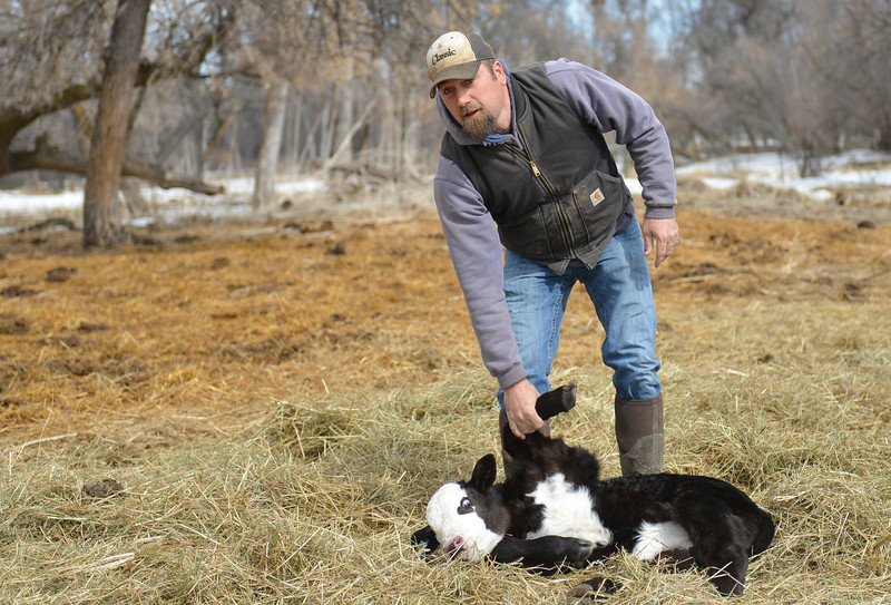 Justin Sheely | The Sheridan Press<br /> Levi Gorzalka pulls a newborn calf from the herd at the Bow & Arrow Ranch west of Sheridan Thursday, March 15, 2018. March is a critical time of year for area ranchers as they work around the clock to ensure the survival and health of newborn calves.