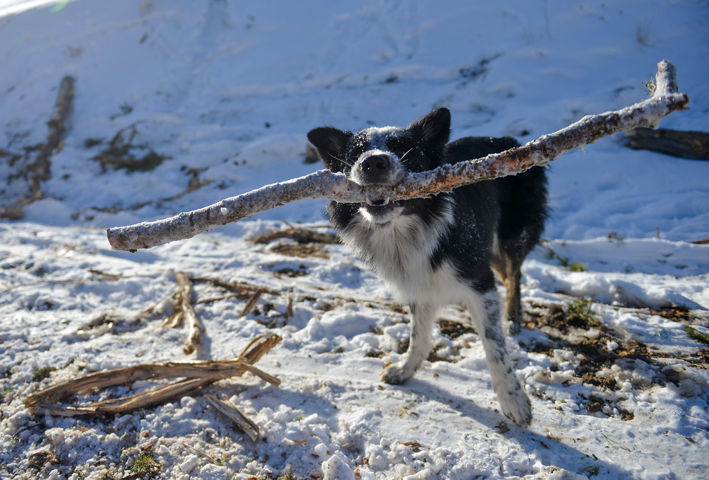 Justin Sheely | The Sheridan Press<br /> <br /> A dog picks up a stick at the sale site at the Wyoming State Land near Steamboat point in the Bighorn mountains Wednesday, Jan. 17, 2018.