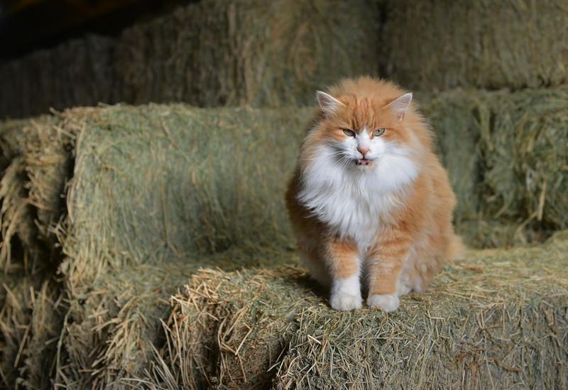 Justin Sheely   The Sheridan Press<br /> A barn cat sits on a haystack inside the barn at the Quarter-Circle 7 ranch Friday, Dec. 22, 2017.