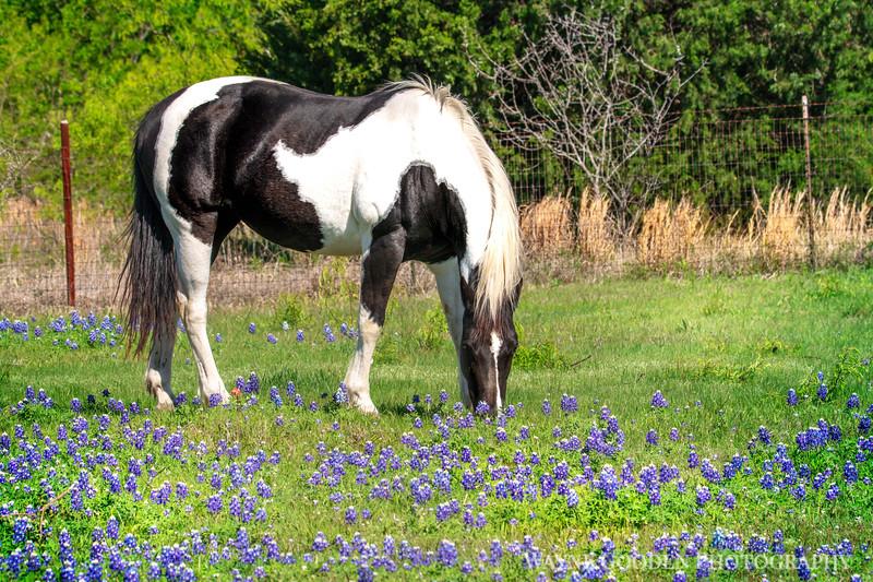 Paint Horse and Bluebonnets