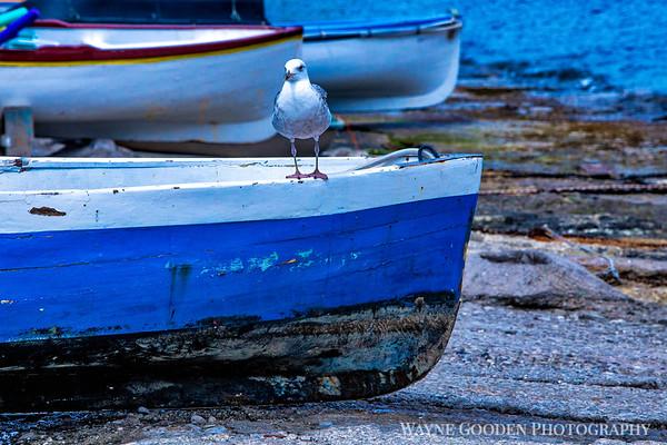 Cooperating Seagull Capri Italy