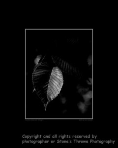 leaf-wdsm-23aug15-16x20-bw-bbp-4489