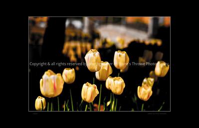 015-flower_tulip-dsm-20apr10-20x16-203-bbp-1959