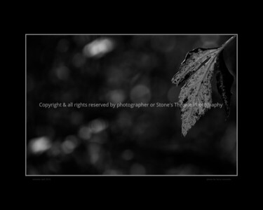 leaf_autumn-wdsm-05oct15-18x12-bbp-bw-5429