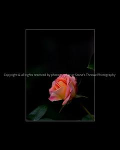 015-flower_rose-dsm-22sep08-3442