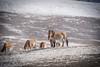 Przewalski Horses, Hustai National Park