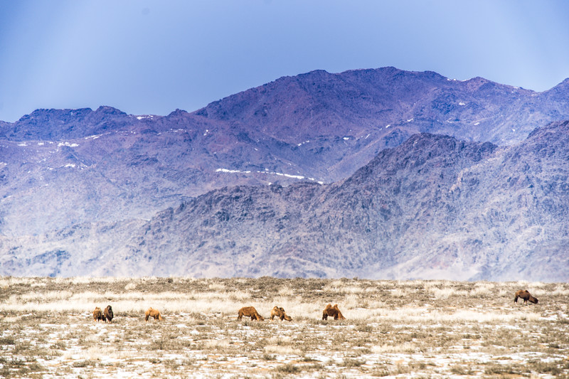Camels on the steppe
