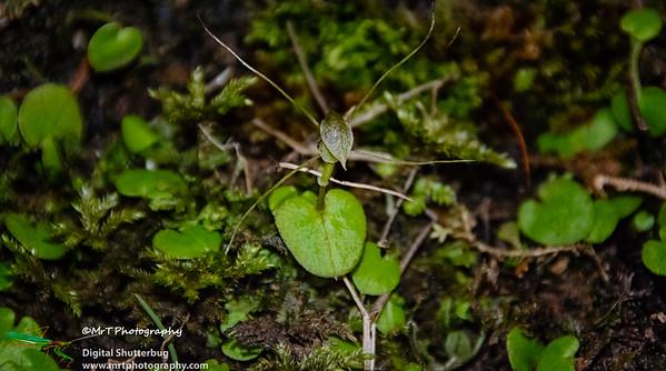 Corybas (Nematoceras) iridescens