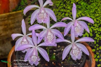 Pleione Loulan Bertha's Bloomers