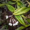 Rodriguezia decora