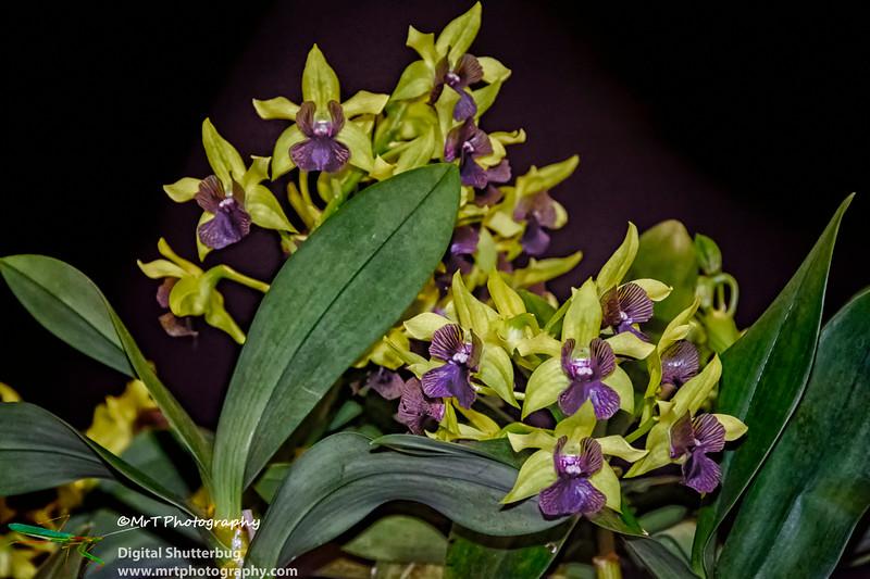 Dendrobium Gerald McCraith 'Awapuni'