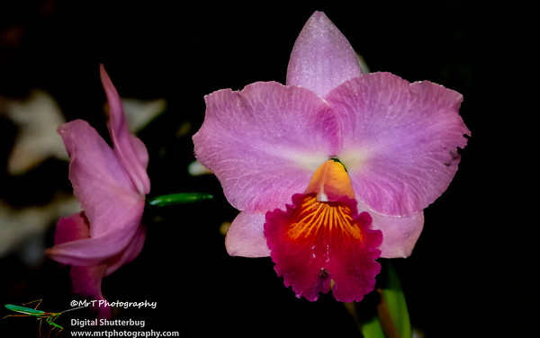 Cattleya Royal Beau 'Ronald John'