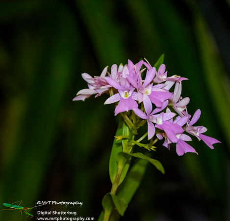 Epidendrum centropetalum
