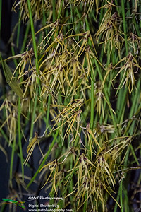 Dendrobium dolichophylum