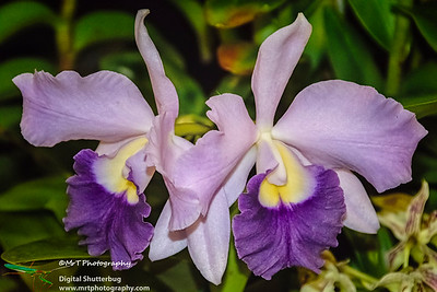 Cattleya Itsa Blue 'Blue Moon'