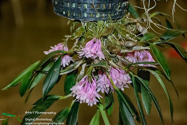 Dendrobium aurantiroseum 'Sarah'
