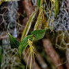 Dendrobium cacatua