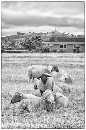 A ram and his harem Ambury Park Farm, One Tree Hill in the background