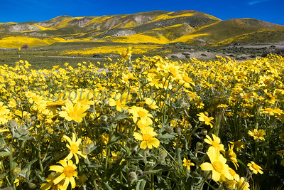 Carrizo Plains Flowers 20170402-645