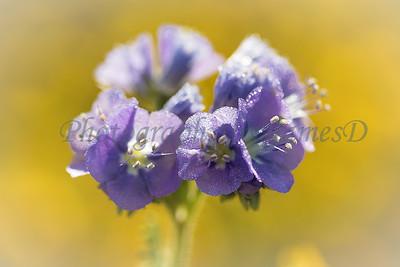 Carrizo Plains Flowers 20170402-324-Edit