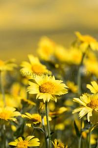 Carrizo Plains Flowers 20170402-625_3-2 format